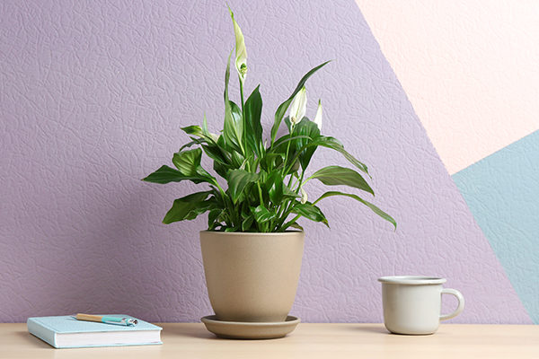 peace lily promotes positive energy and provides many health benefits