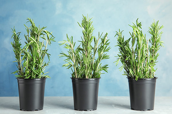 rosemary promotes positive energy and provides many health benefits