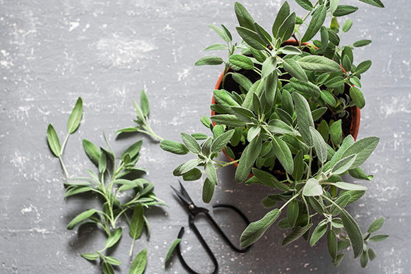 sage promotes positive energy and provides many health benefits