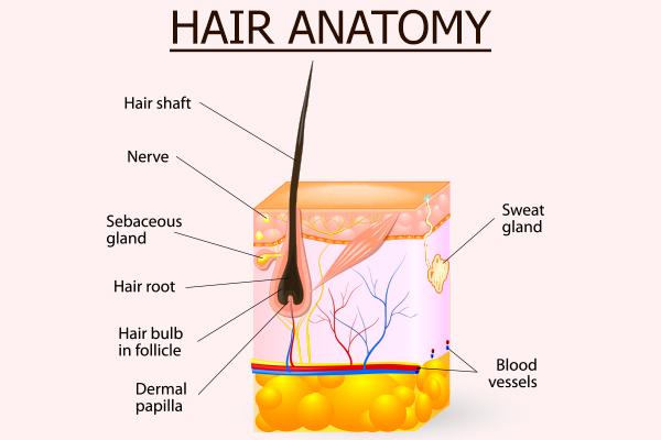 hair anatomy