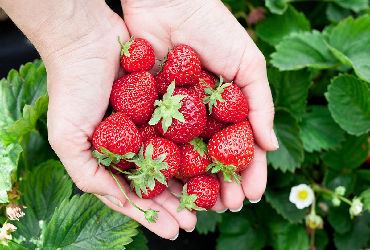 benefits of consuming strawberries