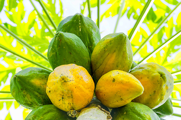 ripe vs. unripe papaya