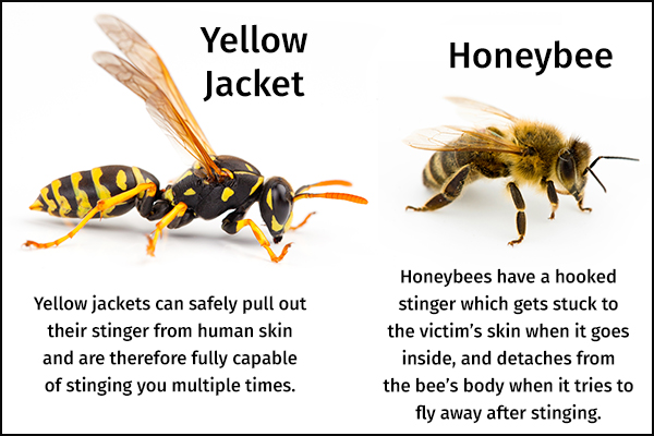 difference between honeybees and yellow jacket