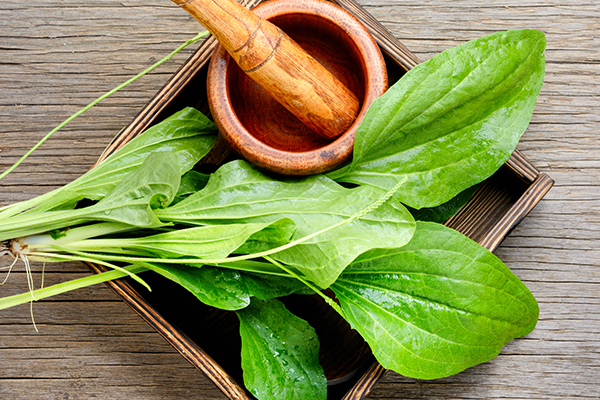 plantain leaves can help reduce sting-induced pain