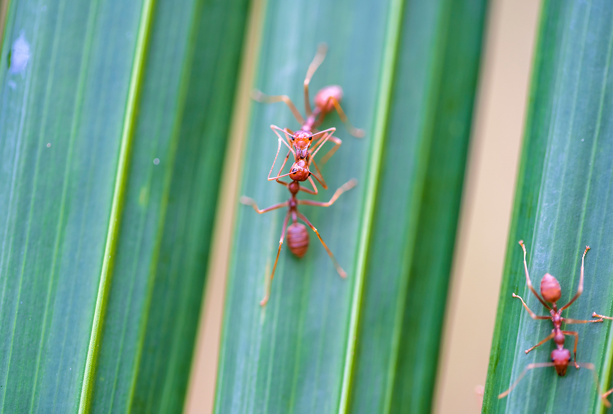 treating fire ant stings